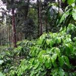 coffee-plantation-345367_1280