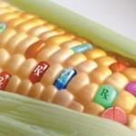maiz-transgenico-750x420